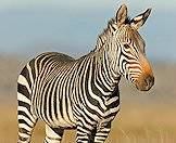 Each zebra has its own unique stripe pattern.