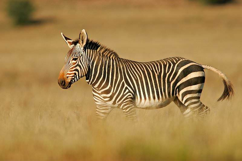 Trophy Hunting The Mountain Zebra In South Africa Ash