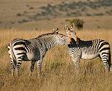 Mountain zebras in Mountain Zebra National Park.