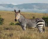 Mountain zebras enjoy the mountainous slopes of the Eastern Cape.