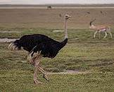 Ostriches occur widely across the continent.