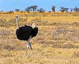Ostriches typically enjoy an open, semi-arid environment.