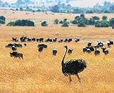 Ostriches assimilate well with other plains game species.