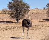 Ostriches have very powerful legs.