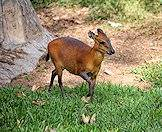 A red duiker traverses a lawn.