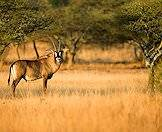 Roan antelope have handsome masks across their faces.