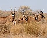A herd of roan antelope look back at the camera.