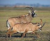A roan antelope bull and a cow.