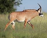 A lone roan antelope wanders the bush.