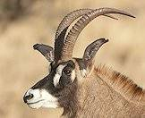 Roan antelope of ringed backward sweeping horns.