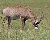 The majestic roan antelope.
