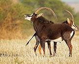 A sable antelope bull and a cow.