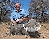 A warthog hunted in the bushveld.