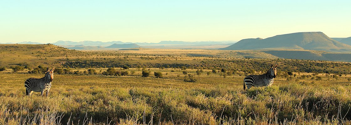 Mountain zebras in the Little Karoo region of the Eastern Cape province.