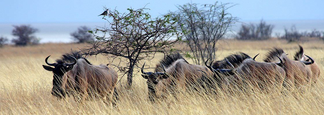 A herd of blue wildebeest in the bushveld.