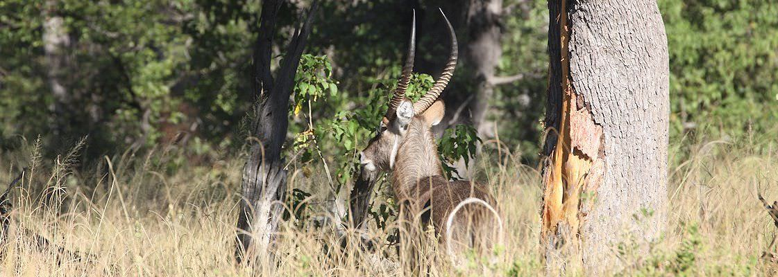 A waterbuck encountered in the wilderness of Botswana.