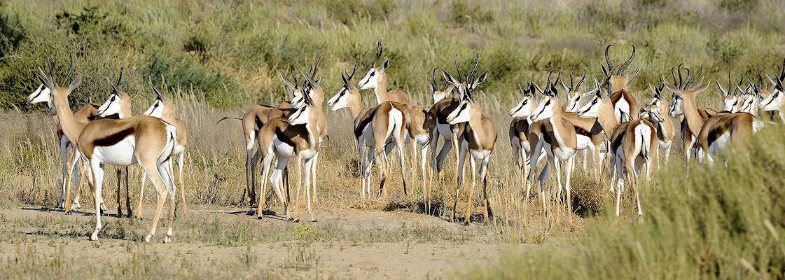 A herd of springbok in South Africa.