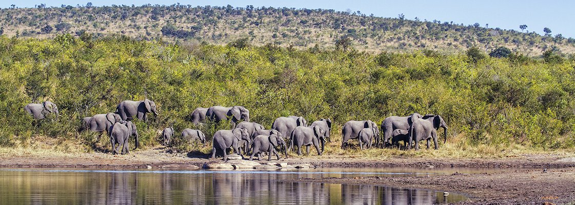 A herd of elephants in the Kruger National Park.