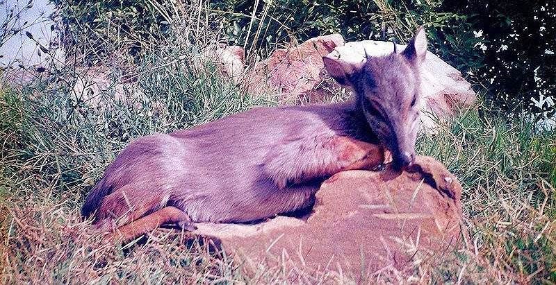 A blue duiker hunted on safari in the Eastern Cape.
