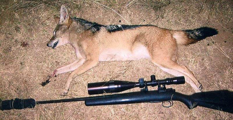 A jackal trophy presented for a photograph with a hunting rifle.