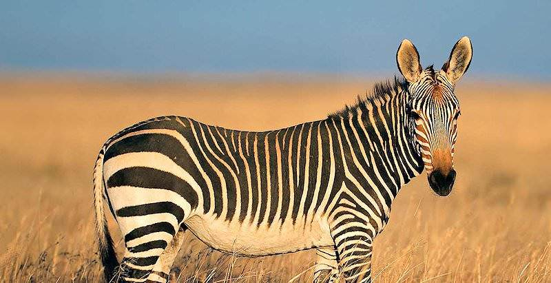 A Cape mountain zebra in the Cape Mountain Zebra National Park.
