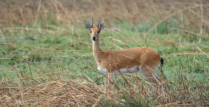 The oribi is a rare trophy.