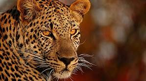 The leopard is the most elusive of the Big Five.