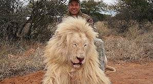 A lion hunted in the Kalahari region.