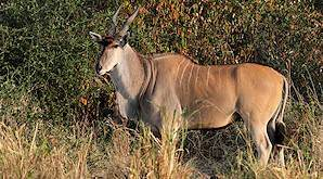The Livingstone eland is distinguished by the white stripes on its back.