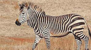The Cape mountain zebra is slightly smaller than the Burchell's.