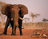 An elephant faces off with a lioness.