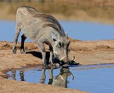 A warthog drinking at a waterhole.